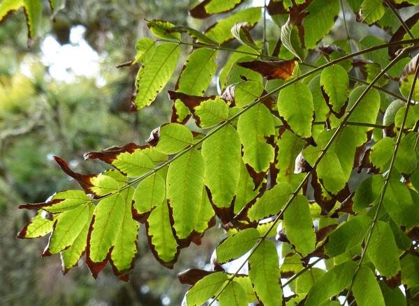 Cedrela salvadorensis Standl.