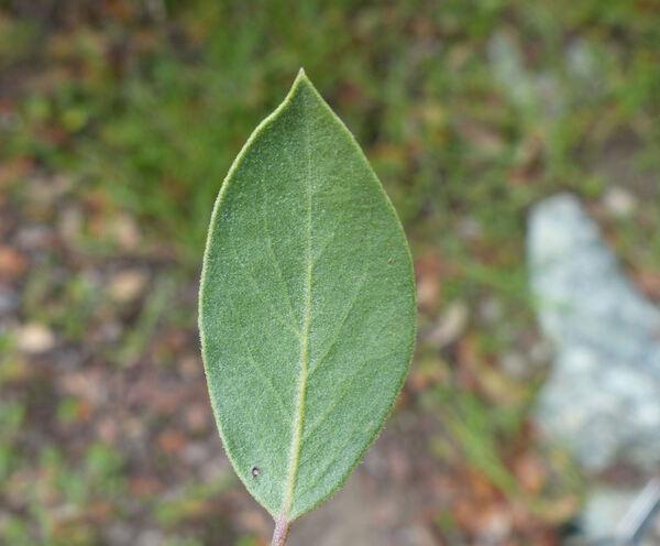 Arctostaphylos manzanita Parry