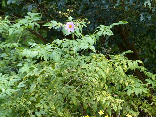 Dahlia australis (Sherff) P.D.Sørensen