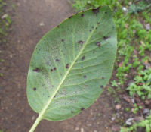 Arbutus menziesii Pursh
