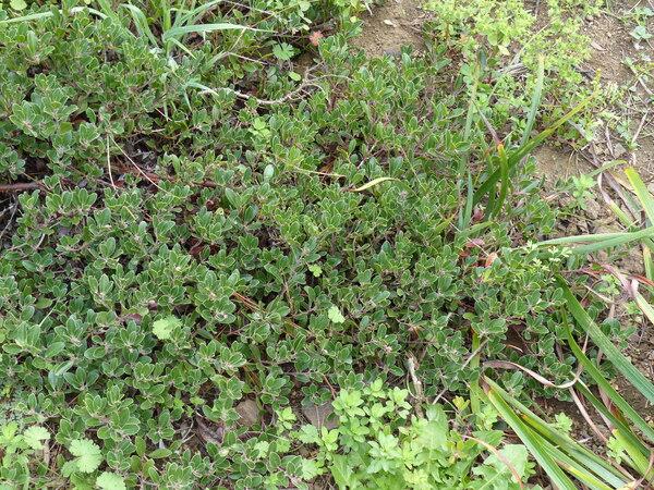 Arctostaphylos hookeri G. Don subsp. franciscana (Eastw.) Munz