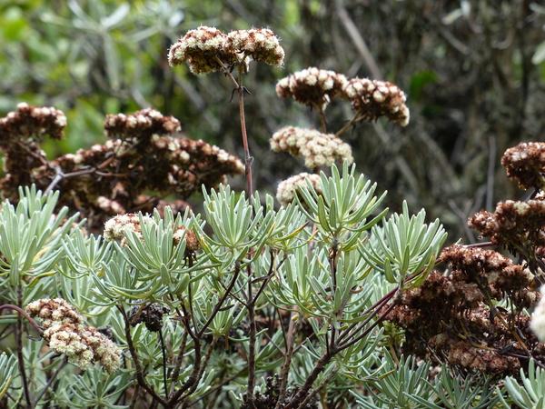 Eriogonum arborescens Greene
