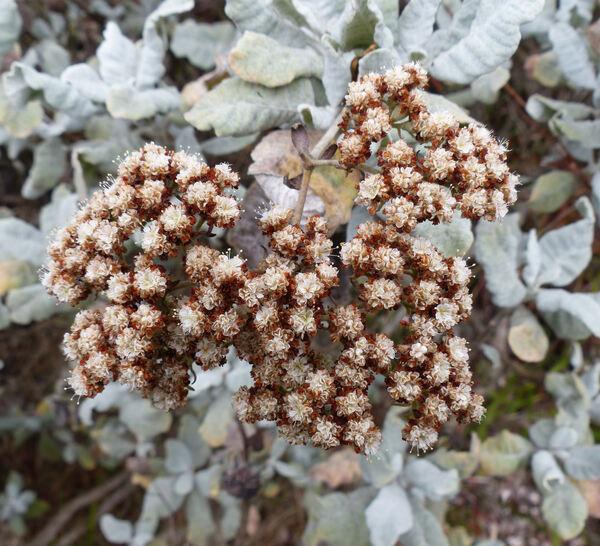 Eriogonum giganteum S.Wats.