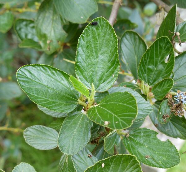 Ceanothus arboreus Greene