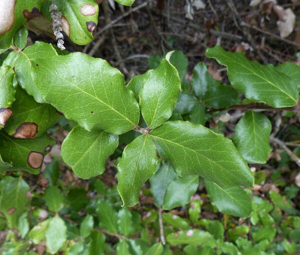 Garrya elliptica Dougl. ex Lindl. 'Evie'