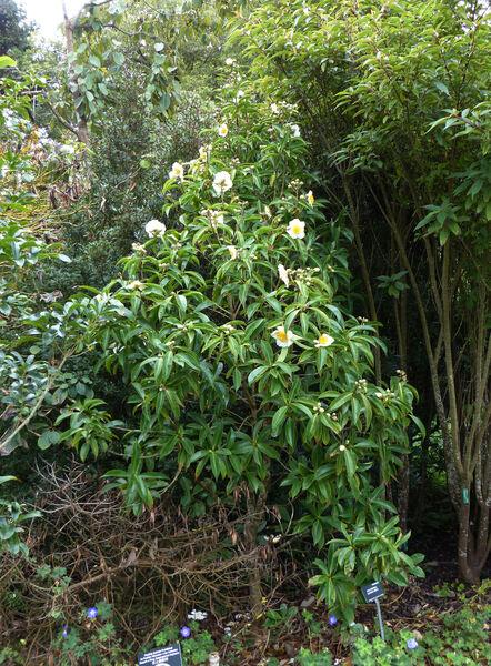 Polyspora longicarpa (Hung T. Chang) C. X. Ye ex B. M. Bartholomew & T. L. Ming,