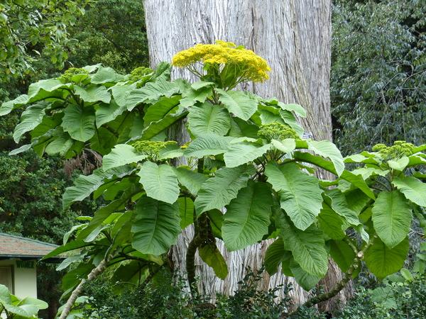 Telanthophora grandifolia (Less.) H.Rob. & Brettell