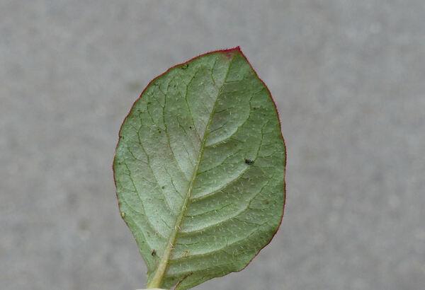 Persicaria capitata (Buch.-Ham. ex D.Don.) H.Gross