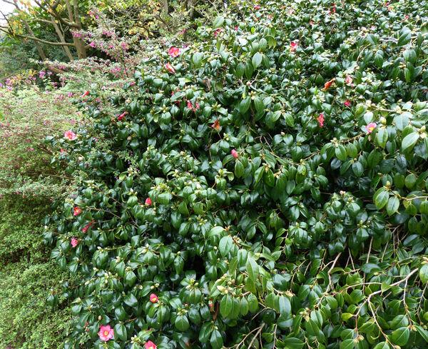 Camellia x williamsii hort. 'St. Ewe'