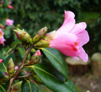 Camellia x williamsii hort. 'Bow Bells'