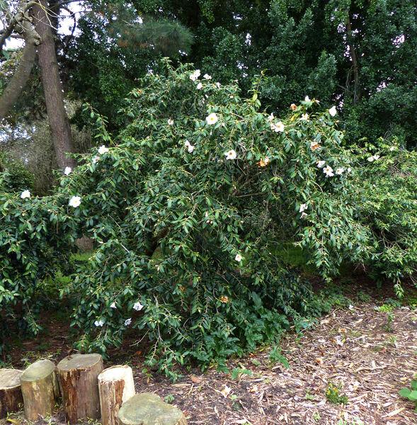 Camellia x williamsii hort. 'Hiraethlyn'