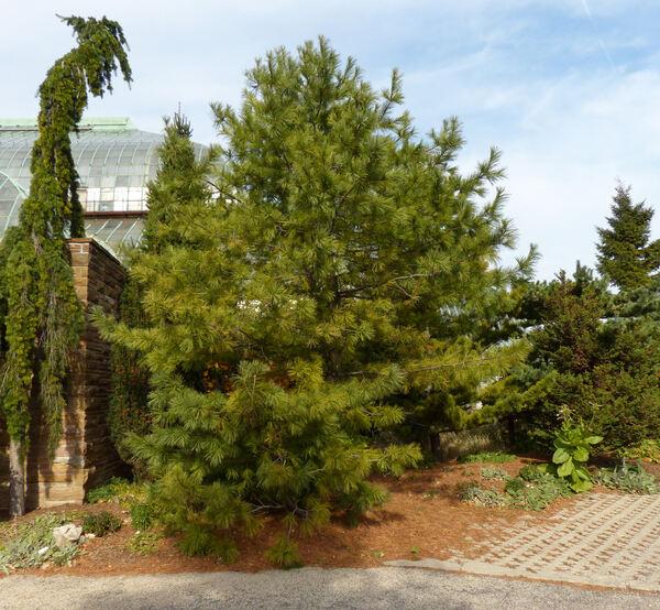 Pinus koraiensis Siebold. & Zucc.
