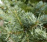 Abies lasiocarpa (Hook.) Nutt. var. arizonica (Merriam) Lemmon