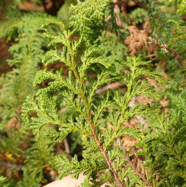 Chamaecyparis pisifera (Siebold & Zucc.) Endl. 'Plumosa Cristata'