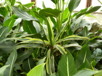 Dracaena fragrans (L.) Ker Gawl. 'Lemon-Lime'