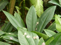 Philodendron 'Lynette'