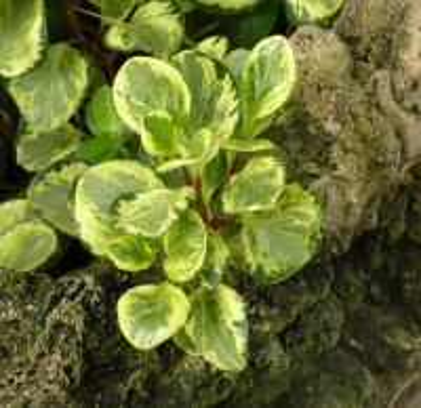 Peperomia obtusifolia A.Dietr. 'Golden Gate'