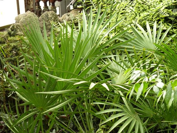 Serenoa repens (Bartr.) Small