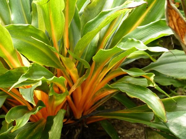 Chlorophytum filipendulum Baker subsp. amaniense (Engl.) Nordal & A.D.Poulsen 'Fire Flash'