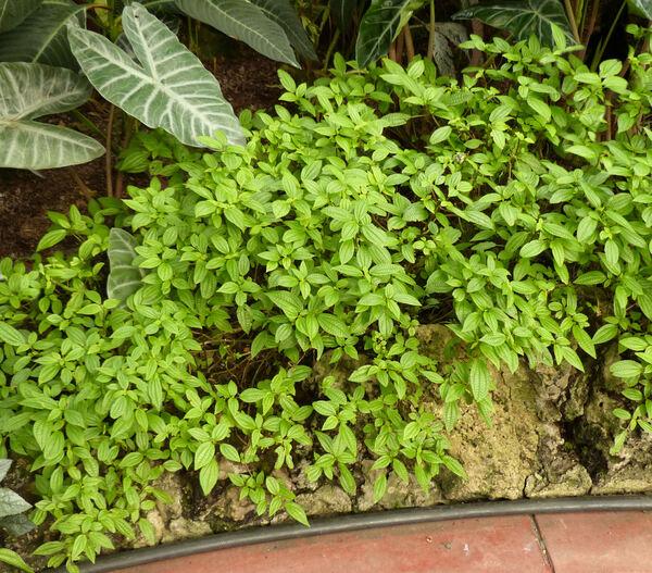 Pilea grandifolia (L. ) Blume