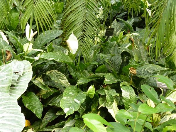 Spathiphyllum wallisii Regel 'Domino'