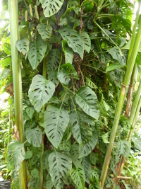 Monstera adansonii Schott var. laniata (Schott) Madison