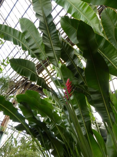 Heliconia bihai x caribaea 'Richmond Red'