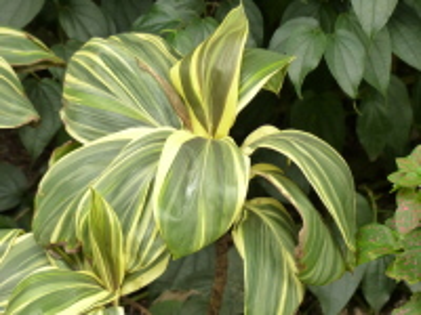 Cordyline fruticosa (L.) A. Chev. 'Miss Andrea'