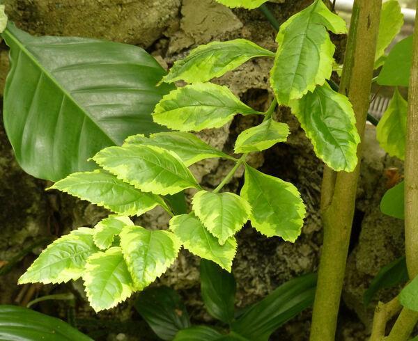 Duranta erecta L. 'Cuban Gold'