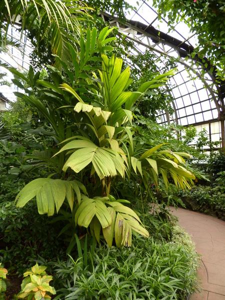 Pinanga kuhlii Blume