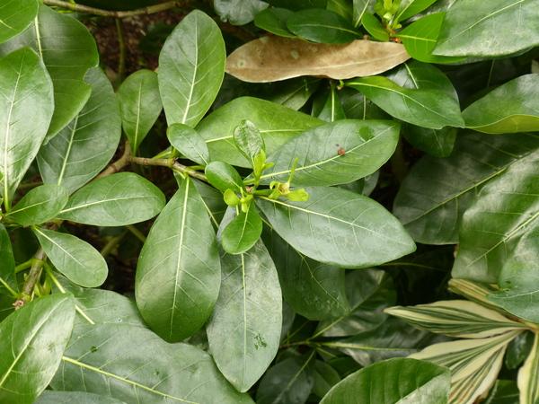 Gardenia taitensis DC.