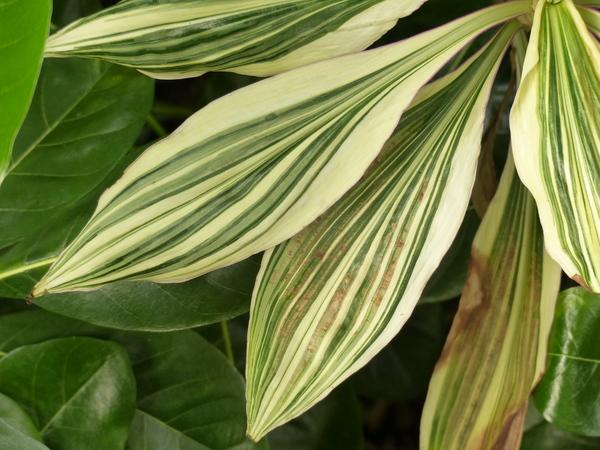 Tradescantia zanonia (L.) Sw.