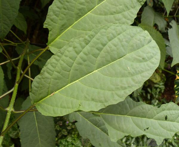 Clerodendrum quadriloculare (Blanco) Merr.