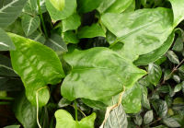 Spathicarpa sagittifolia Schott