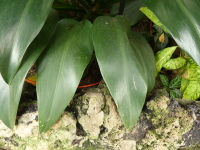 Philodendron sp.
