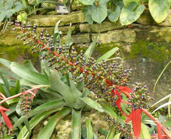Bromelia agavifolia Brongn. ex Houllet