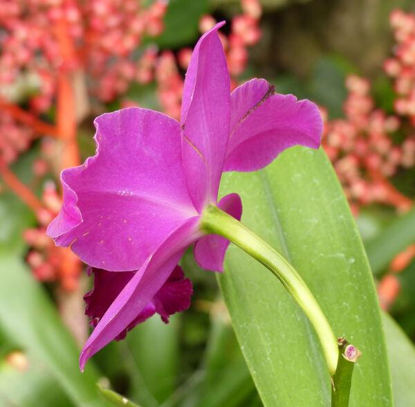 xBrassolaeliocattleya sp.