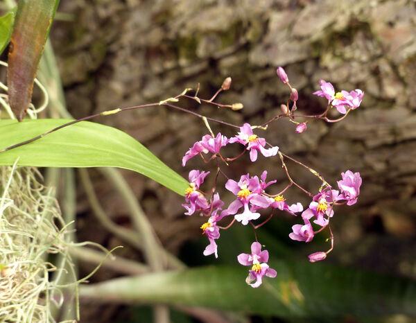 Oncidium ornithorhynchum Kunth