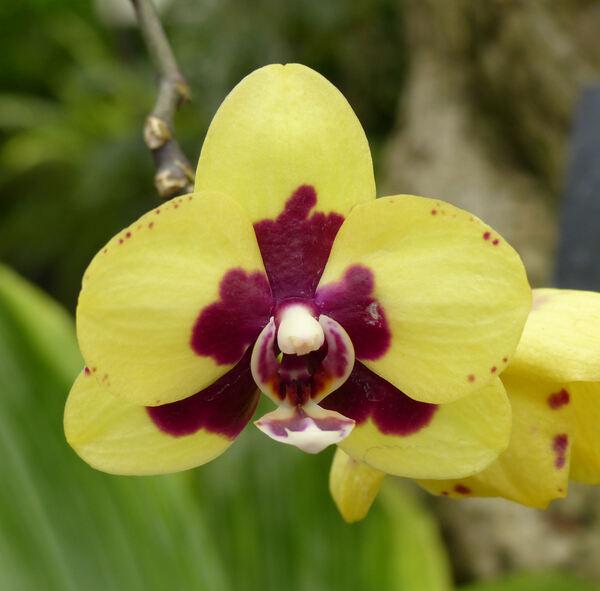 Phalaenopsis 'Yellow Harlequin'