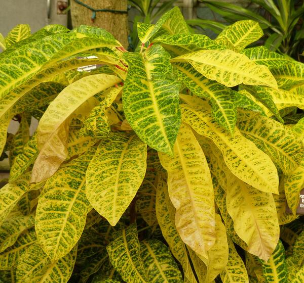 Codiaeum variegatum (L.) A. Juss. 'Pictum'