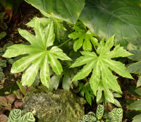 Fatsia japonica (Thunb.) Decne. & Planch. 'Spider's Web'