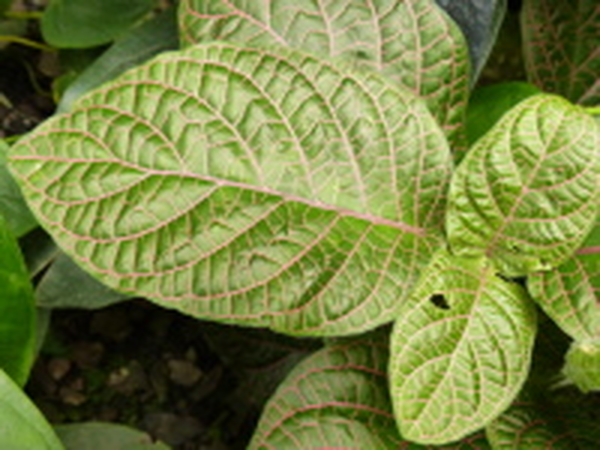 Fittonia verschaffeltii (Lem.) Van Houtte