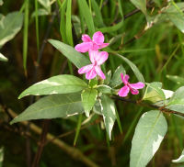 Pseuderanthemum 'Hansoti'
