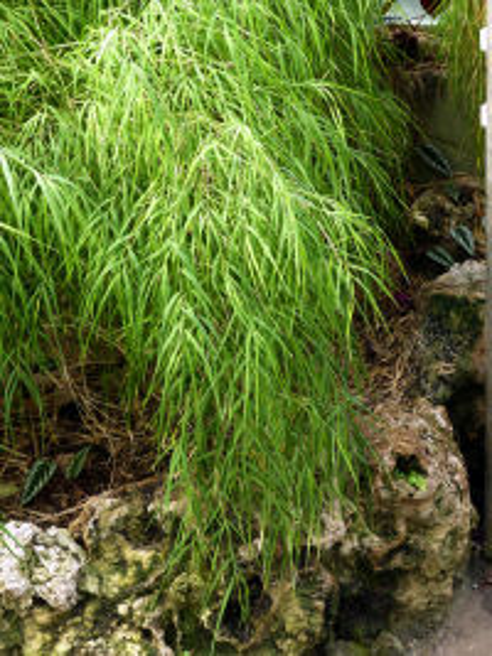 Otatea acuminata (Munro) C.E.Calderón & Soderstr.