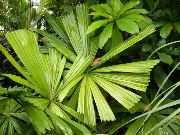 Licuala ramsayi (F.Muell.) Domin