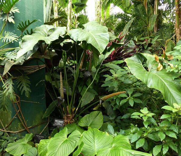 Anthurium watermaliense Hort. ex L. H. Bailey