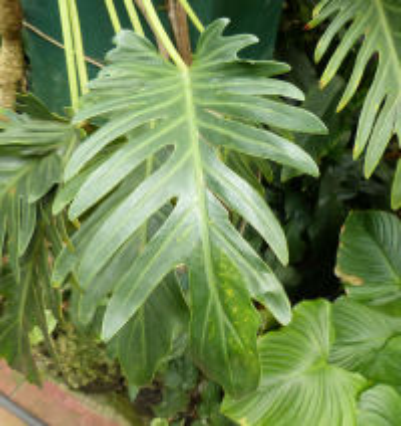 Philodendron xanadu Croat, Mayo & J.Boos