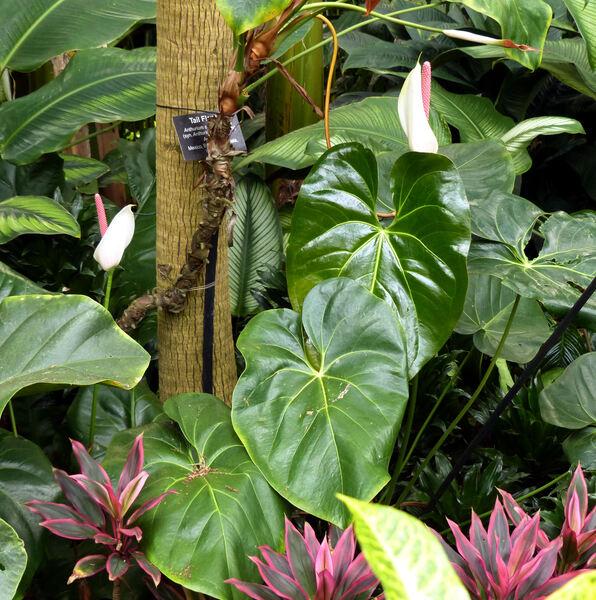 Anthurium andreanum Linden