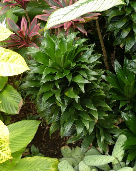 Dracaena fragrans (L.) Ker Gawl. 'Deremensis Compacta'