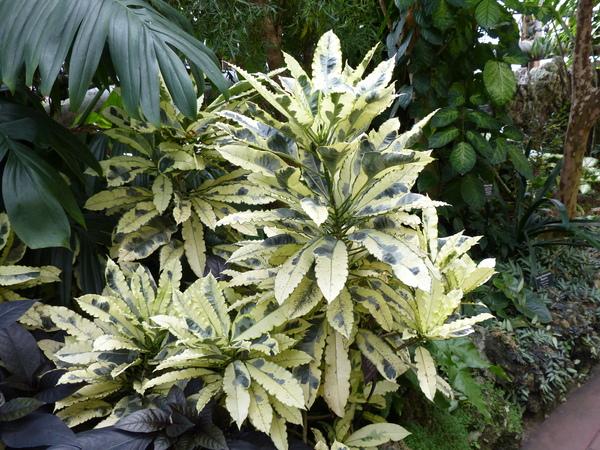 Codiaeum variegatum (L.) A. Juss. 'Andrew'